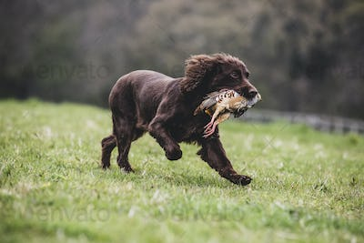 Brown Spaniel dog running across a field, retrieving pheasant.