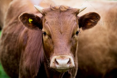 Brown cow standing on a farm pasture, looking at camera.
