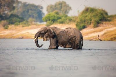 An elephant, Loxodonta africana, stands knee deep in water, wet body, trunk sprays water, looking