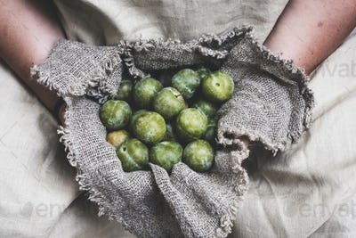 Close up of person holding fresh greengages in grey cloth.