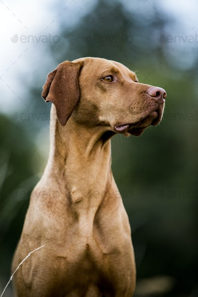 Portrait of Vizla dog.