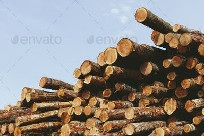 Stacked logs, freshly logged spruce and fir trees