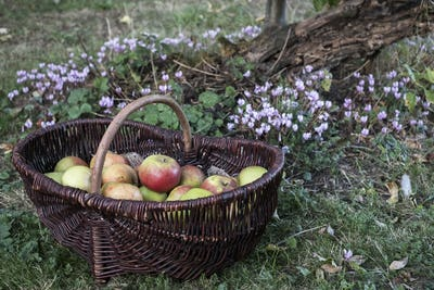 Close up of freshly picked apples in a brown wicker basket.
