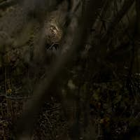 A leopard, Panthera pardus, walks through the bush, looking away, sunlight on eye, branches in