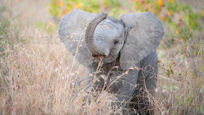 An African elephant calf, Loxodonta africana, stands in tall brown grass, lifting its trunk with an
