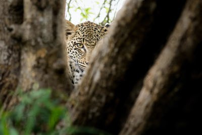 A leopard's head, Panthera pardus, direct gaze between two tree branches, one eye