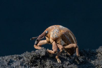 Close up of a weevil, Curculionidae.