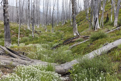 A previously burnt subalpine forest rebounds in summer with lodgepole pine and a variety of