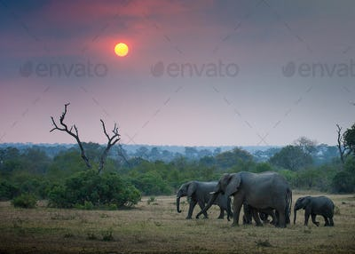 A herd of elephant, Loxodonta africana, walk through an open clearing, trees and bushes in