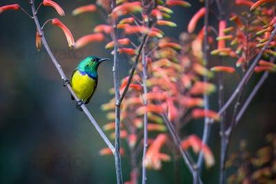 A collared sunbird, Hedydipna collaris, perches on a candelabra aloe, aloe arborescens