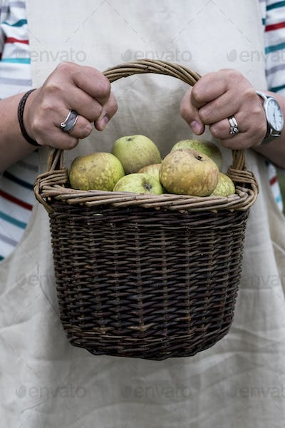 Close up of person holding brown wicker basket with freshly picked apples.
