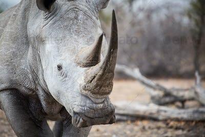 A rhino's head, Ceratotherium simum, alert, two sharp horns.