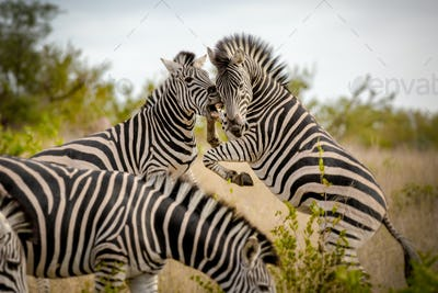 Two zebra, Equus quagga, stand on their hind legs rearing and fight, biting showing teeth
