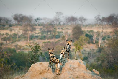 Two wild dog, Lycaon pictus, stand with their backs to the camera on a termite mound, looking away,