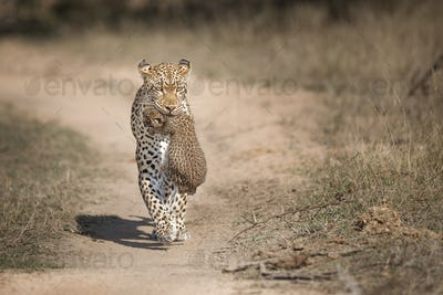 A mother leopard, Panthera pardus, carries her cub in her mouth toawrds the camera, ears back, alonh