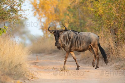 A blue wildebeest, Connochaetes taurinus, walks across a sand road, direct gaze, leg raised, yellow