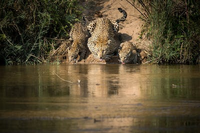 Mother leopard, Panthera pardus, and her cubs drink from a river simaltaneously, their tongues