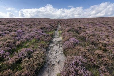 A footpath across the high moors of the Peak District National Park. Purple flowering heather.