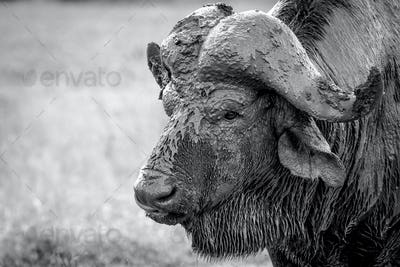 The head of a buffalo, Syncerus caffer, head covered in mud, wet fur, looking away, in black and