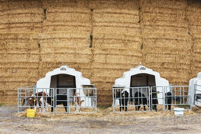 Wall of straw bales and calves in a metal pens on a farm.