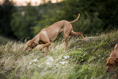 Vizla dog walking on a meadow, sniffing ground.
