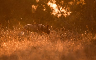 An African wild dog, Lycaon pictus, backlit, walks away from camera through grass, ears back