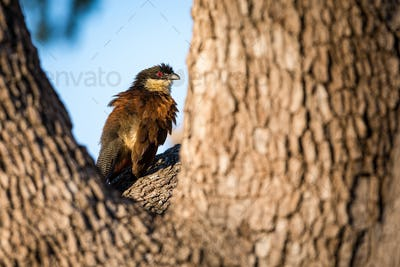 Burchell's coucal, Centropus burchellii, sits in the fork of a tree