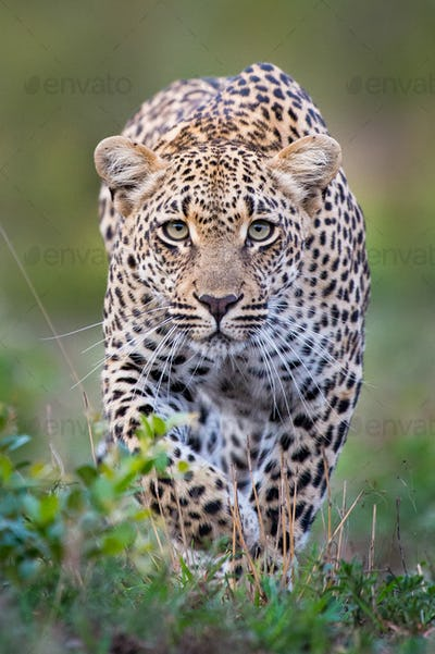 A leopard, Panthera pardus, alert, walks towards the camera  in stalking posture, with large green
