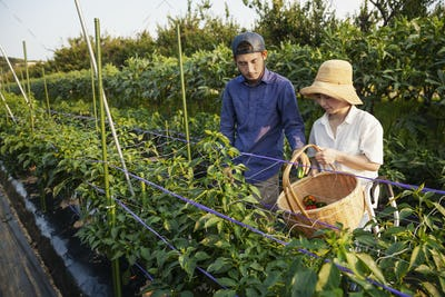 Japanese man wearing cap and woman wearing hat standing in vegetable field, picking fresh peppers.