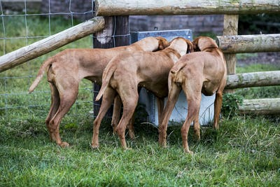 Rear view of three Viszla dogs drinking from a trough.
