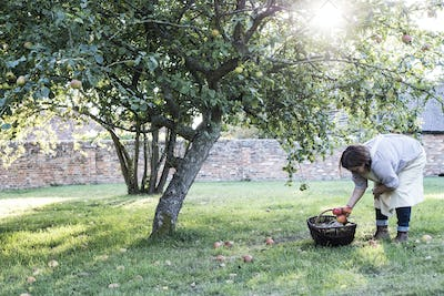 Woman wearing apron holding brown wicker basket, picking up windfall apples from the ground.