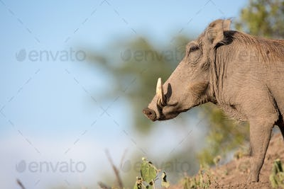 A side profile of a warthog, Phacochoerus africanus, standing on soil, white tusks, against blue
