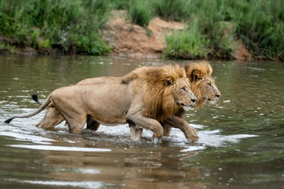 Two male lions, Panthera leo, walk across a shallow river simaltanously, looking away.