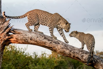 A mother leopard, Panthera pardus, greets its cub while balancing on a log
