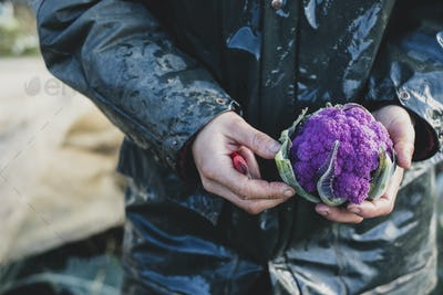 High angle close up of person holding freshly harvested purple cauliflower.