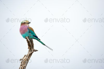 A lilac-breasted roller, Coracias caudatus, perches at the top of a dead branch, looking away,