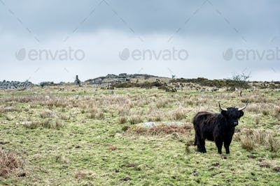 Black Highland cattle standing on pasture.