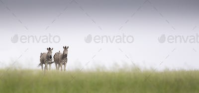 Two zebra, Equus quagga, walk in green grass with a clear horizon