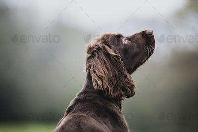 Rear view of Brown Spaniel dog sitting in a field, looking sideways.