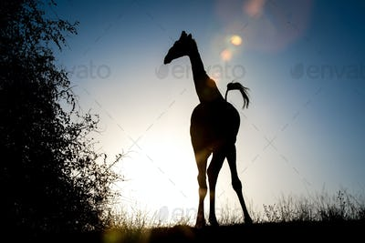 A silhouette of a giraffe, Giraffa camelopardalis, knees bowed inwards, tail up in air.
