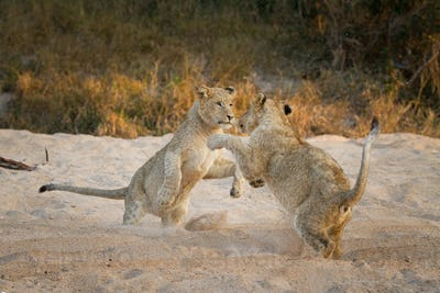 Two lion cubs, Panthera leo, stand on their hind legs in sand while playing, paws in the air, sand