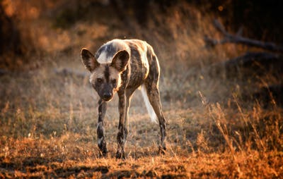 An African wild dog, Lycaon pictus, walks towards camera, backlit, looking away, grass in sunlight