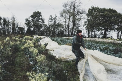 Woman standing in field, removing protective netting from vegetables.