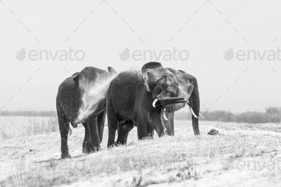 Three elephant, Loxodonta africana, stand on a sand bank, wet skin, spray sand with their trunk into