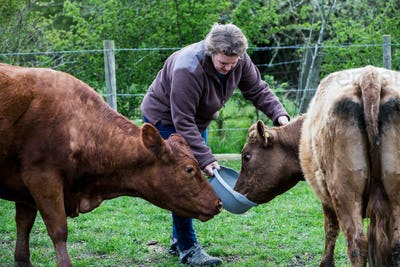 Woman feeding two brown cows on a farm.
