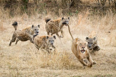 A lioness, Panthera leo, runs away with its tail up, wide eyed and mouth open as four spotted hyena,