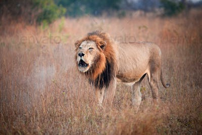 A male lion, Panthera leo, stand sin brown grass, opens mouth, roars, steam coming out of mouth