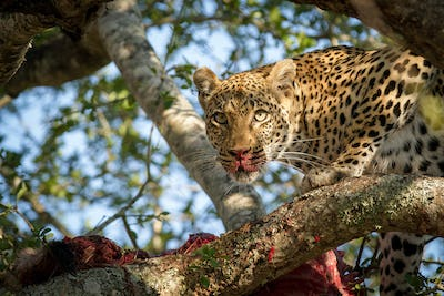 A leopard, Panthera pardus, stands in a tree over a carcass, alert, blood on nose and snout, ears up