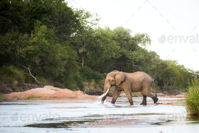 An elephant, Loxodonta africana, with long tusks walks across a shallow river, trunk in water,