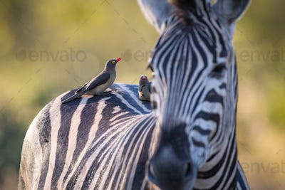 A zebra, Equus quagga, stands with red-billed oxpeckers sitting on its back, Buphagus